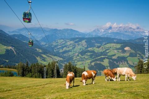 Foto Wagrain Sommerfoto Kühe bei Flying Mozart